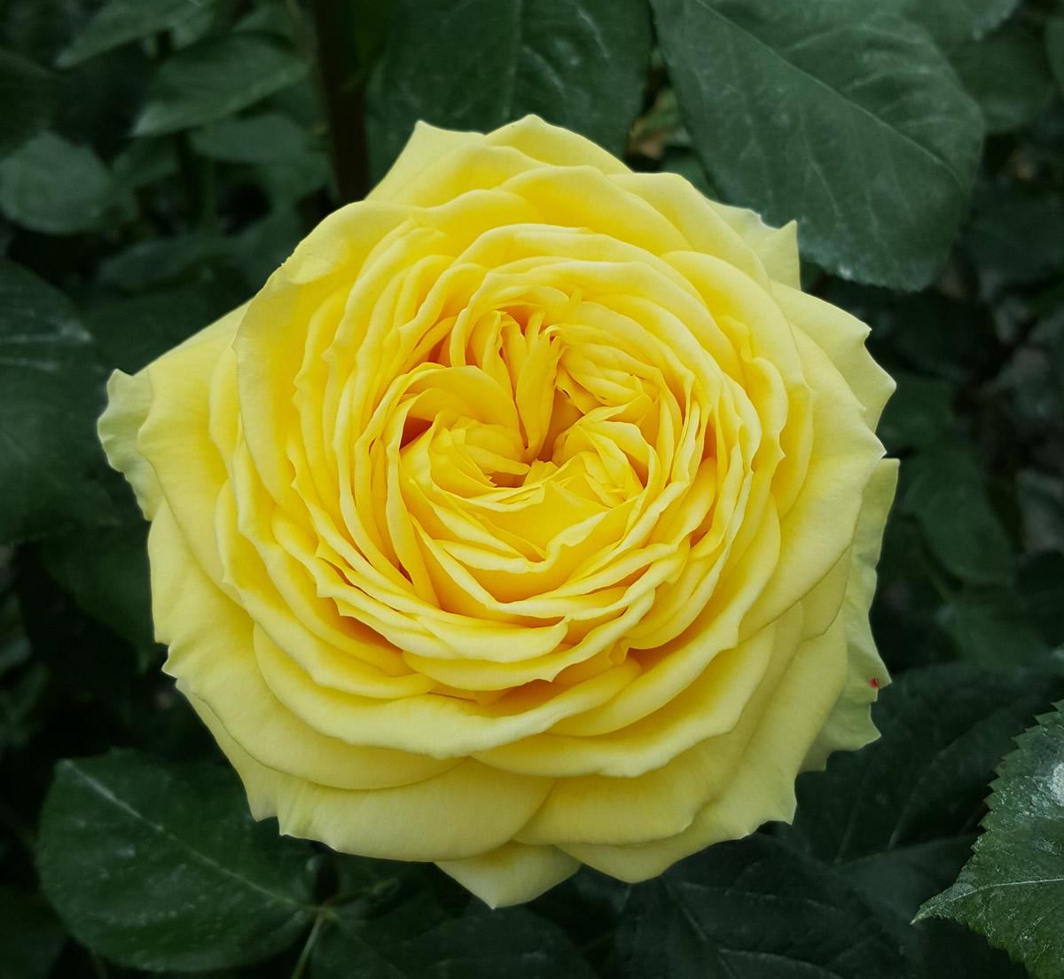 Rosa inglese gialla vino flower innovation for Rosa inglese