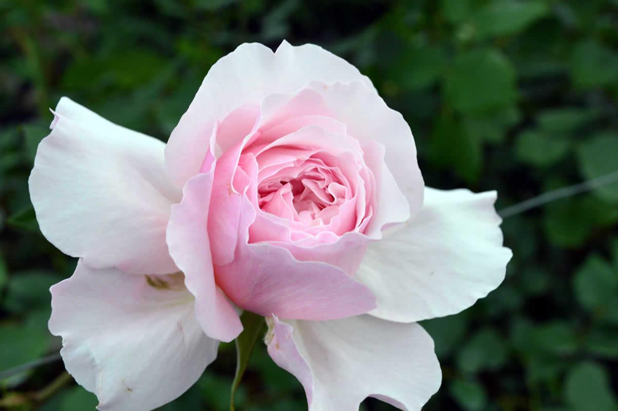 Rosa inglese rosa chiaro vino flower innovation for Rosa inglese