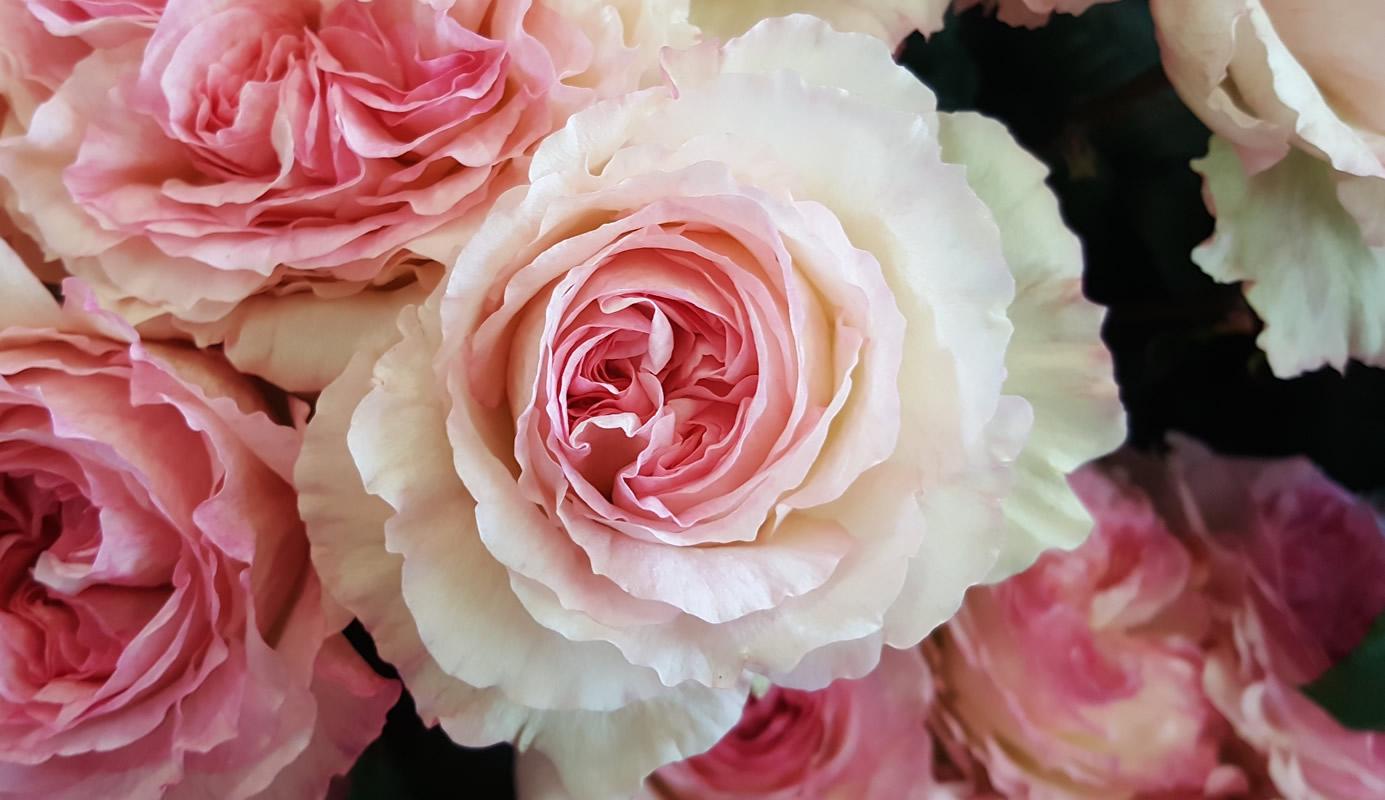 Rosa inglese rosa tenue vino flower innovation for Rosa inglese