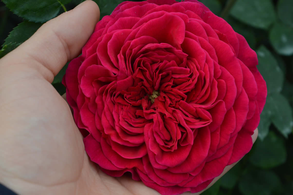 Rosa inglese rossa vino flower innovation for Rosa inglese
