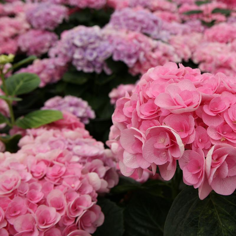 ortensie-papillon-rosa-square